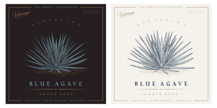 Vintage agave azul detailed engraved style illustration. Blue agave sketch