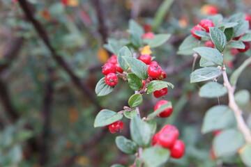 Fototapeta red berries bush in sweden
