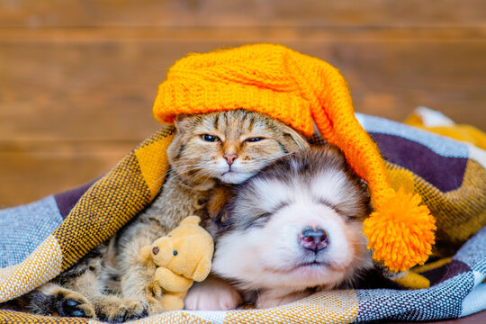 Tabby cat and malamute puppy sleep on a plaid blanket in an embrace. The cat wears a funny yellow cap and hugs a little teddy bear