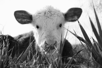 Wall Mural - Hereford calf face close up in black and white, laying behind yucca plant in field hiding.