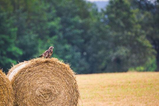 Birds of prey on a bale of straw