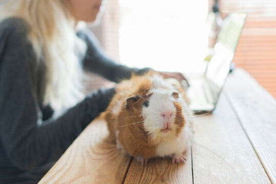 Close-up of guinea pig on table against woman using laptop at home