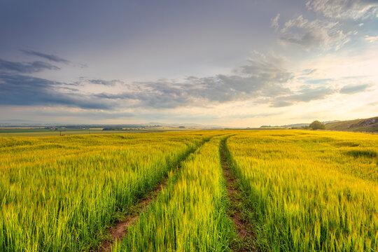 Tire tracks stretching across barley (Hordeum vulgare) field at summer dusk