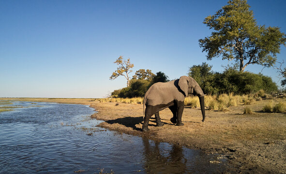 Elephant walking out of river at Caprivi Strip, Namibia