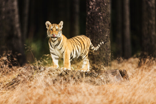 A young Ussuri tiger crawls on a log in a mysterious forest. (Panthera tigris tigris) also called Amur tiger (Panthera tigris altaica) in the forest, Young female tiger in the forest.