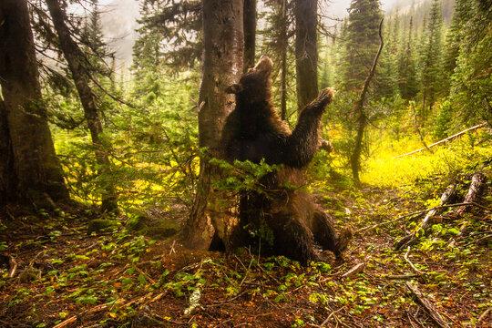 American black bear scent marking by rubbing on tree