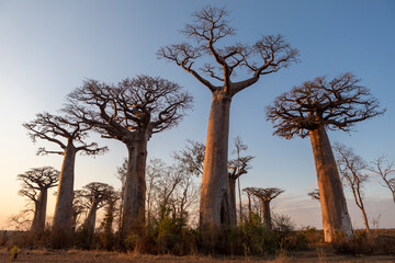 Scenic view of baobab trees