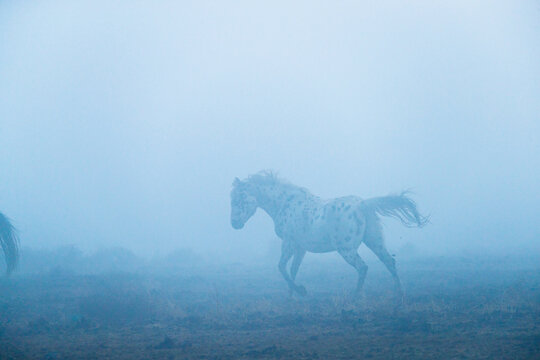 Appaloosa horse running on landscape during fog