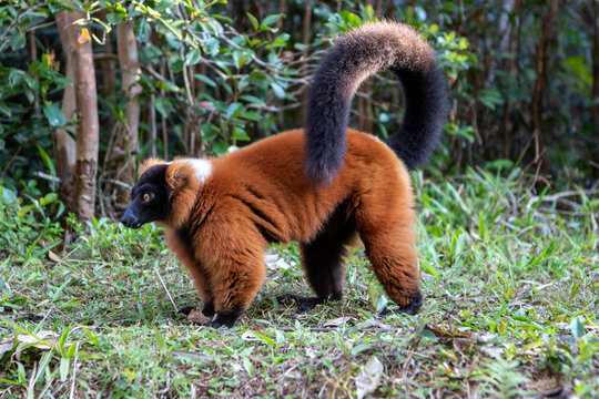 Red ruffed lemur standing in forest