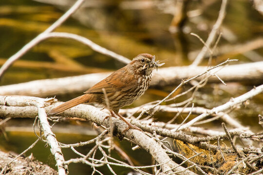 Close up of song sparrow holding insect in beak perching on branch