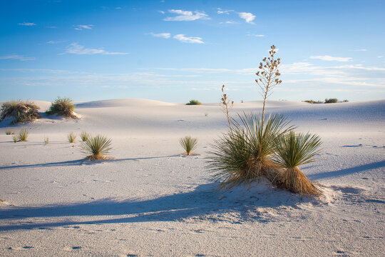 Yucca plants growing on white sand during sunrise