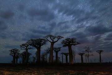 Scenic view of starry sky over baobab trees at night