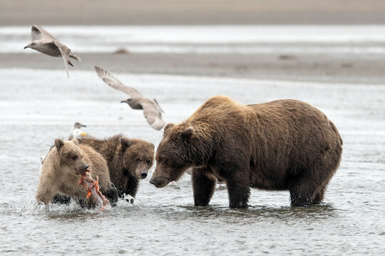 Female grizzly bear watching cubs play with caught salmon
