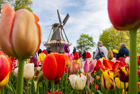 Tourists at windmill with tulip flowers in foreground in Keukenhof garden