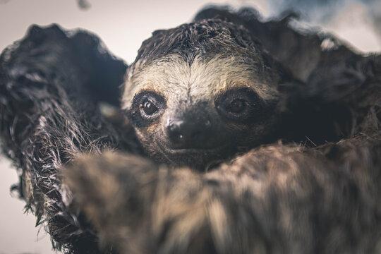 Close up of sloth