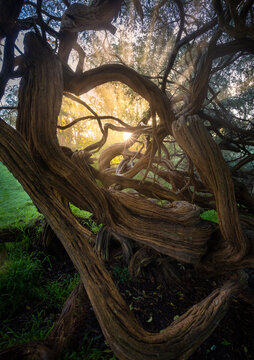 View of twisted trees during sunrise