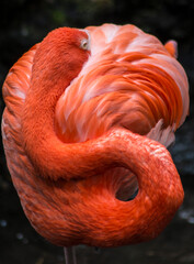 Close up of flamingo