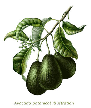 Avocado branch botanical illustration vintage engraving style clip art isolated on white background
