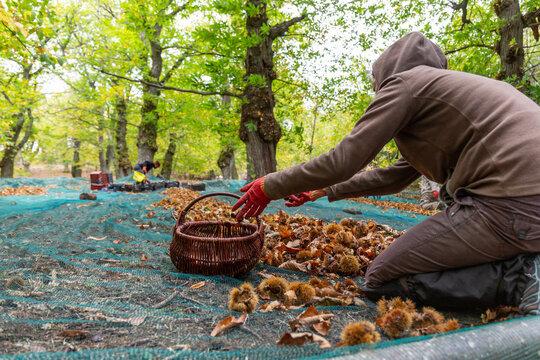 Récolte des châtaignes en Ardèche