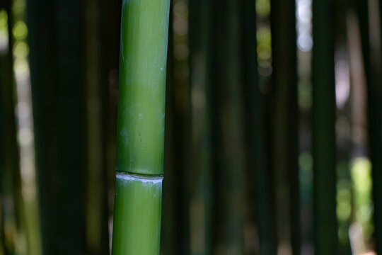 Bamboo Forest Trees Nature Concept in Italy
