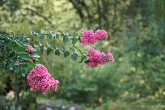 Lagerstroemia Indica is a deciduous plant with purple or pink flowers.