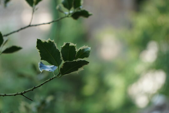Closeup green holly bush leaves in sunshine, soft focus background, evergreen christmas plants