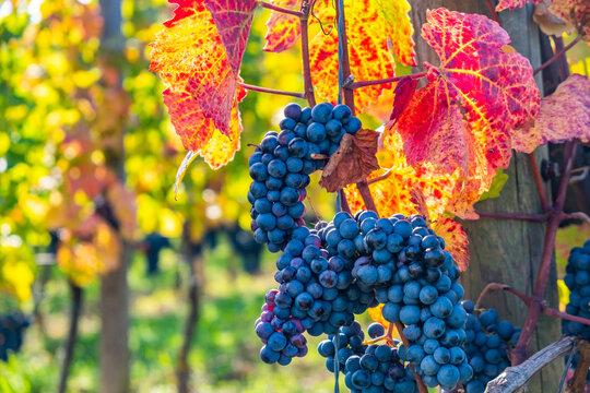 blue merlot grapes in autumn vineyard