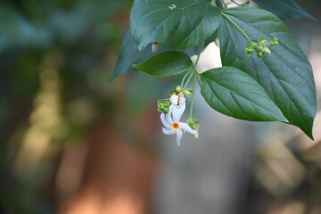 Night flowering jasmine or Parijat or hengra bubar or Shiuli is a species of Nyctanthes native to South Asia and Southeast Asia in nature