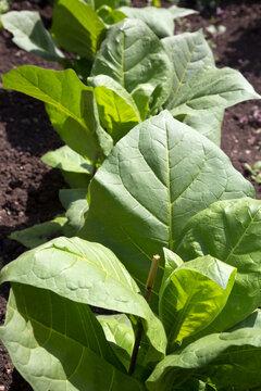 Nahaufnahme einer Tabakpflanze (Nicotiana tabacum) im Beet