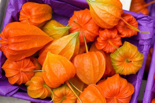 Lampionblume (Physalis alkekengi) fFrüchte als Herbstdekoration
