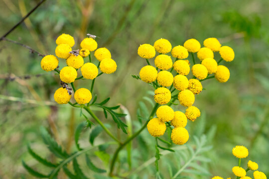 Yellow herb. Tansy flower also known as Common tansy, bitter buttons, cow bitter, or golden buttons