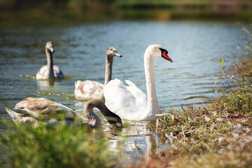 A family of mute swans swims in the lake