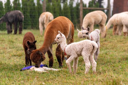 Alpacas on a farm in Oregon