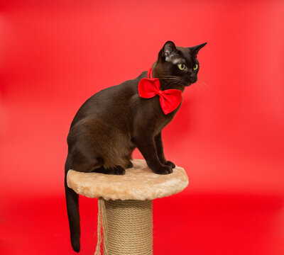 American Burmese cat sitting on a scratching post