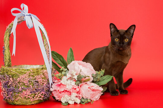 American Burmese cat with a basket and flowers