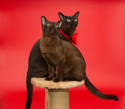 Two American Burmese cats