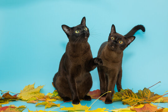 Two American Burmese cats and autumn