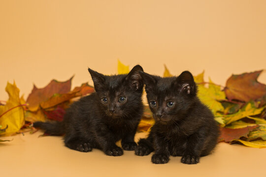 Two small black kittens and autumn leaves