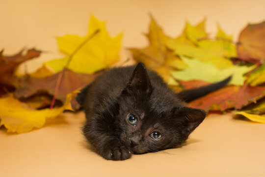 Small black kitten and autumn leaves