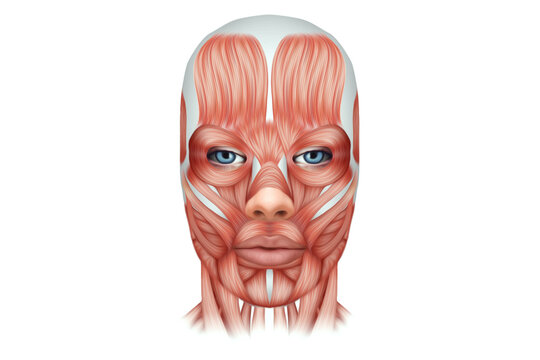 The structure of human muscles on the face close-up, the biology of the muscular system. Human anotomy concept. 3D illustration, 3D render