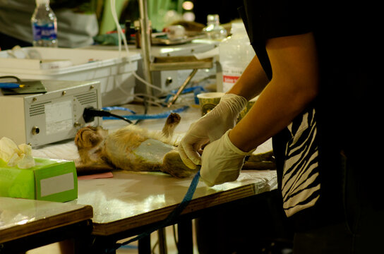 close-up picture of a female veterinarian undergoing a monkey sterilization with a knife and scissors