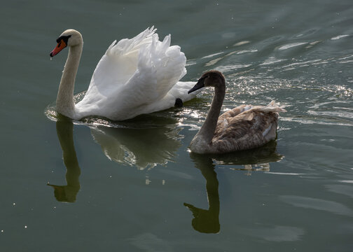 Two swans swimming in Lednice ponds