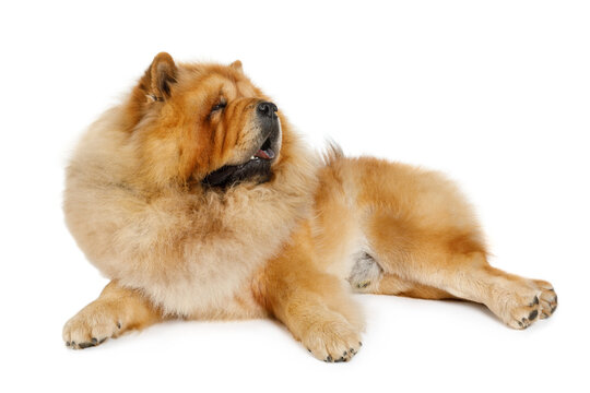 Chow chow in front of a white background