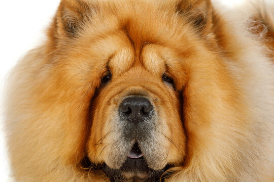 Portrait of a purebred dog Chow Chow