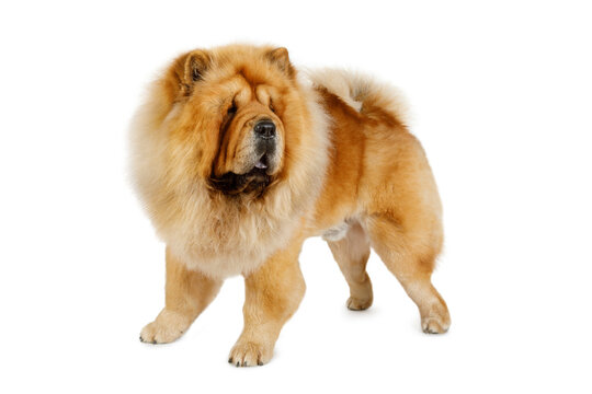 Chow Chow Dog Isolated on White