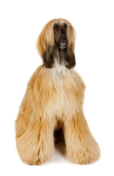 Red haired Afghan Greyhound over white