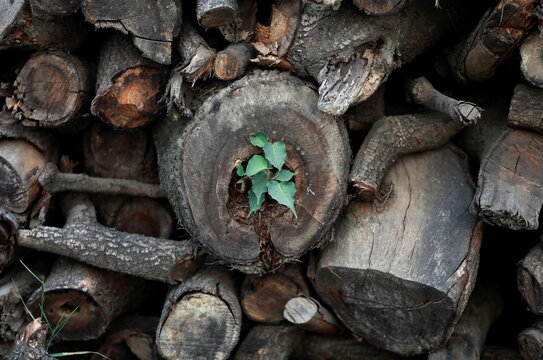 Peepal leaves grow from a dead trunk of a tree which was cut down for a road expansion project in Bhaktapur