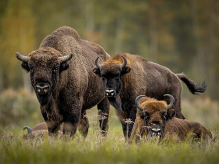 European bison family in Białowieża forest, Poland