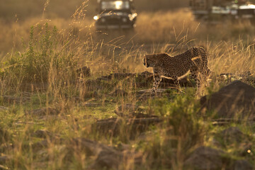 Wall Mural - Cheetah moving in the evening light and tourist watched from their vehicle at Masai Mara, Kenya