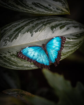 mariposa azul rey